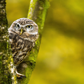 On the hunt by Russell Mander - Animals Birds ( woods & fields, deadlylook, little owl, hunter )