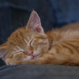 Zzzzz by Laura Gardner - Animals - Cats Kittens ( 2015,  )