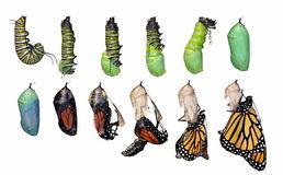 plexippus-монарха-жизни-danaus-цикла-бабочки-23483934.jpg