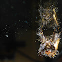 Epicoma Moth