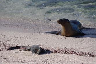 Photo: Sea Lion vs. Marine Iguana