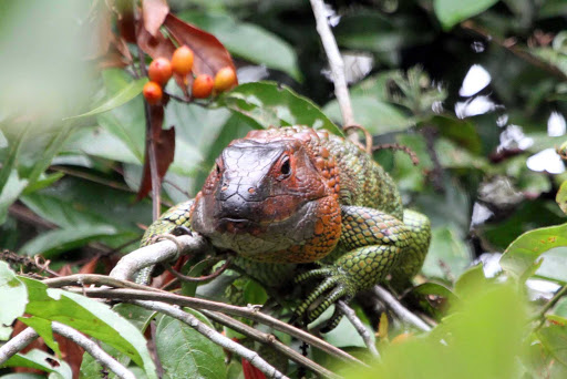 Spot a lizard while hiking through the Amazon on a Lindblad Expedition.