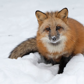Red Fox Portrait in the Snow by Jack Nevitt - Animals Other Mammals ( red, snow, winter, portrait, fox )