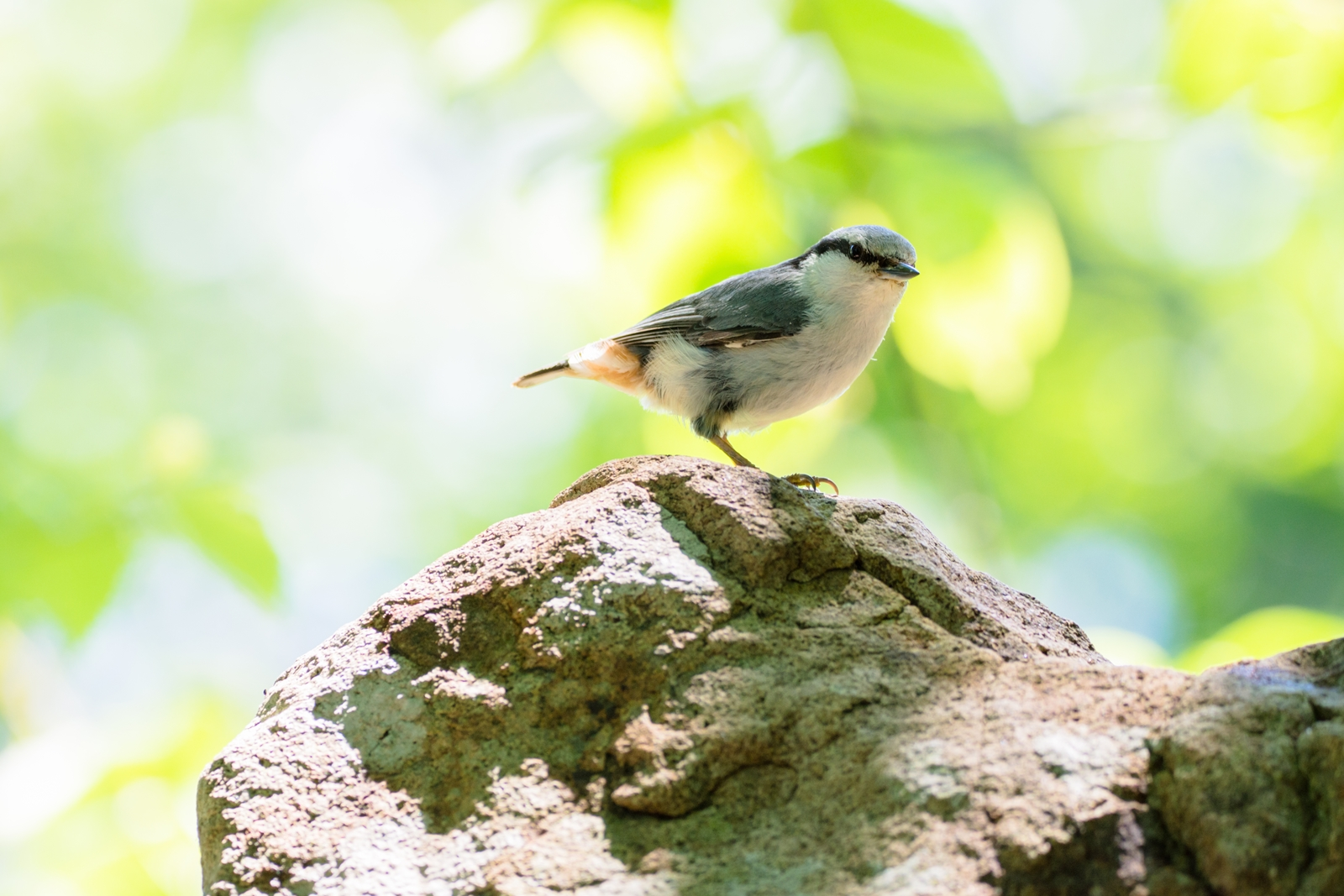 Photo: 「初夏の朝を巡る」 / Around to summer morning.  早い朝の訪れ 感じる日の長さ いつもよりのんびり森を巡る あら、おはよう  Eurasian nuthatch. (ゴジュウカラ)  Nikon D7200 SIGMA 150-600mm F5-6.3 DG OS HSM Contemporary  #birdphotography #birds #kawaii #ことり #小鳥 #nikon #sigma  ( http://takafumiooshio.com/archives/2676 )