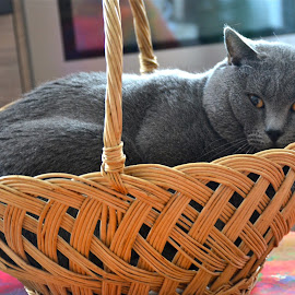 Too small basket! by Serge Ostrogradsky - Animals - Cats Portraits