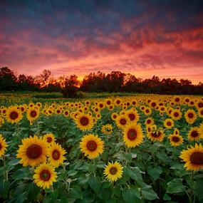 September Sunflower Sunset by Jim Crotty - Landscapes Prairies, Meadows & Fields ( autumn equinox, centerville-washington township park district, ohio nature photography, dayton, september, centerville, jim crotty, sunset, holes creek, ohio, ohio photographer, sunflowers )