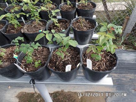 Chỉ sau 4 ngày trồng, phần lá của các chậu hồng Othello đã có sự khác biệt nhẹ.