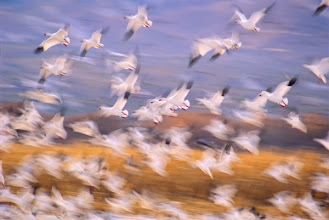 Photo: Snow geese taking flight, Bosque del Apache NWR, NM, USA
