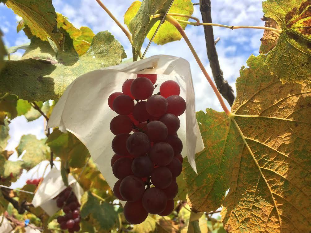 ぶどう狩りとワイン造りを一度に楽しめる「笛吹ワイン」(山梨)