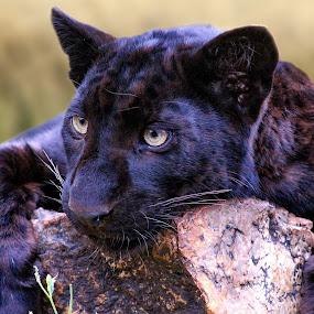 Bored by Steven Butler - Animals Lions, Tigers & Big Cats ( jaguar, wildlife, black, animal )
