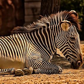 Zebra 5 by Linda Tiepelman - Animals Other Mammals ( animals, forest park, arch, saint louis zoo, plains zebra, saint louis, white, mountain zebra, stripes, missouri, zoo, african equids, zebra, black, grevy's zebra )