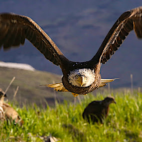 At ya by Capt Jack - Animals Birds ( amazing, fishing alaska, flight, wow, eagle, alaska, raptor, bering sea, bald eagles, birds, patriot, Bird in flight, bif,  )