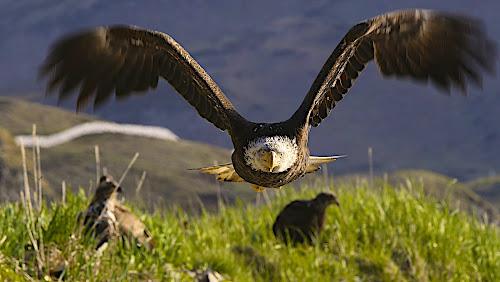 At ya by Capt Jack - Animals Birds ( amazing, fishing alaska, flight, wow, eagle, alaska, raptor, bering sea, bald eagles, birds, patriot, Bird in flight, bif,  )