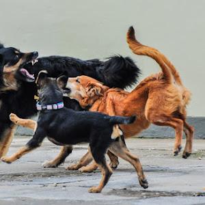 20110208-Dogs Playing-1.jpg