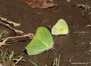 Photo: Two sulphur butterflies