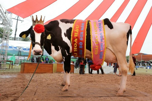 Du lịch Mộc Châu, hội thi hoa hậu bò sữa 3