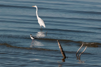 Photo: Great egret and black-necked stilt
