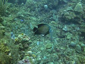 Photo: French Angelfish