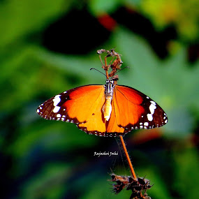 Plain Tiger Butterfly by Rajashri Joshi - Uncategorized All Uncategorized