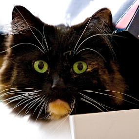Christmas kitty in a box by Kimberly Davidson - Animals - Cats Playing ( cat, callico cat, female cat, christmas box, box, feline, portrait, black cat, pwc84, #GARYFONGPETS, #SHOWUSYOURPETS,  )