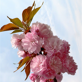 Pretty pink blossoms. by Peter DiMarco - Flowers Tree Blossoms ( pink flower, blooming, flowers, blossoms, flower,  )
