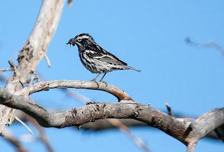 Photo: Black and White Warbler, Bidgoods Park
