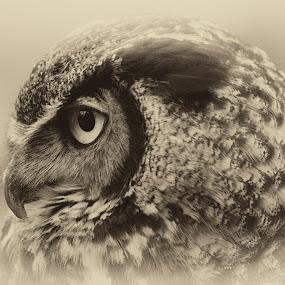 Staring by Max Molenaar - Black & White Animals ( b&w, nature, owl, wildlife, birds )
