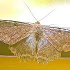 Black Witch Moth/Mariposa de la Muerte Ascalapha odorata, Male