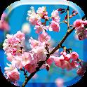 Japanese Sakura Flowers HD LW icon