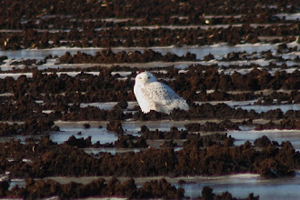 Photo: On Saturday I took a drive to where there were reports of a Snowy Owl spotted. Here she is! In fact, another birder was there and pointed out a 2nd snowy far off in an adjacent field. Cool! Then as I was ready to go, I spotted another white dot even further off. This third one is not for sure, but there are two, possibly three Snowy's camping out in the Holland March on the south end of Keswick. The one in the (heavily cropped, overexposed, terrible) shot was being harassed by a few gulls. This was my first sighting of a Snowy so I was pretty excited and forgot about exposure compensation. It flew around a little but never closer than this. Since this is one of my three white bird shots, I'll play it for #BirdPoker : White birds curated by +Phil Armishaw
