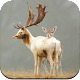 Download Deer Wallpaper HD For PC Windows and Mac