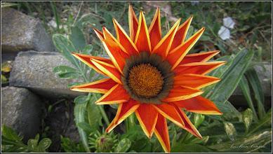Photo: Floarea comoară, Gazania-margaretă (Gazania spp) - din Turda, Piata 1 decembrie 1918, parc - 2019.10.01