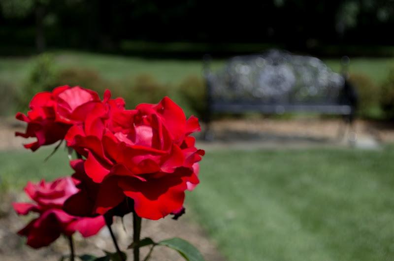 Photo: Hybrid tea rose (Rosa 'Korvegata' Rebell)