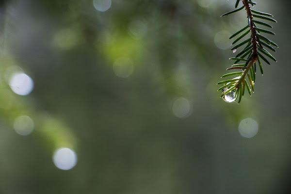 Goccia di pino di atlantex