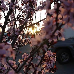 Where's he going? by Andre Quintana - Flowers Tree Blossoms ( stroll, cherry, sunset, cherry blossom, flowers, spring, flower, blossom )