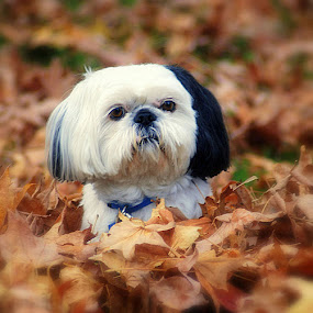 Mickey by Merna Nobile - Animals - Dogs Portraits ( fall, dog, leaves )