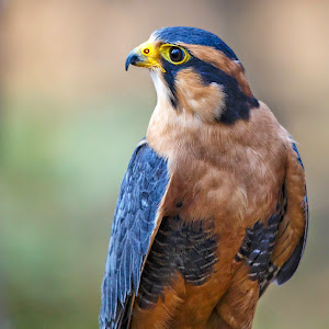 falcon-3.jpg