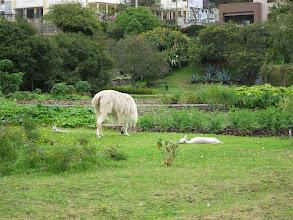 Photo: Tired baby llama