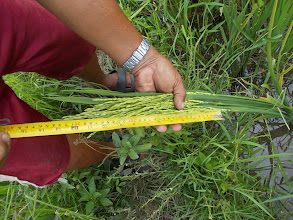 Photo: Typical grain count per panicle: 280-380.