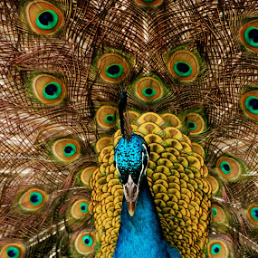 Show Off by Stephanie Ostrander Bishop - Animals Birds ( color, feathers, birds, peacock )