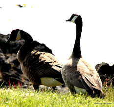 Photo: (Year 2) Day 334 -  Geese at the San Juan County Park
