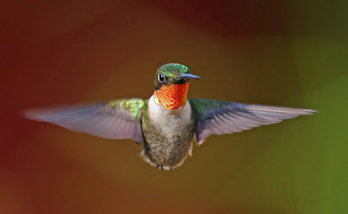 Fight of a ruby! by Anthony Goldman - Animals Birds ( bird, wild, nature, hummingbird, male, wildlife, valrico, ruby-throated,  )