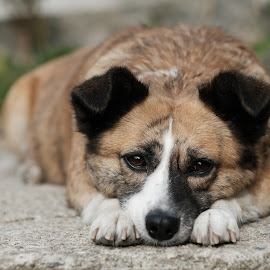 by Cristian Nicola - Animals - Dogs Portraits