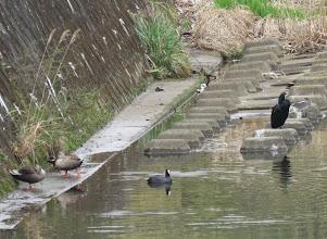Photo: 撮影者:粕谷和夫 オオバン タイトル:野鳥の集うスポットに5種 観察年月日:2015年3月20日 羽数:1羽 場所:湯殿川・稲荷橋下流側 区分:行動 メッシュ:八王子6G コメント:湯殿川の稲荷橋下流が野鳥が集うスポットになっている。この日はオオバンの他にカワウ1羽、コガモ♂1羽、カルガモ3日、ジョウビタキ♂1羽がいた。