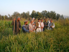 Photo: DAIL ( Department of Agriculture, Irrigation and Livestock ) Staff discuss about SRI with local farmers in Takhar, Afghanistan. [ Photo Courtesy of Ali Muhammad Ramzi, 2013]