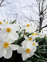 Photo: Beautiful daffodils under bare trees and a lamppost at Wegerzyn Gardens in Dayton, Ohio.
