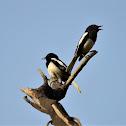 Robin - Oriental Magpie Robin