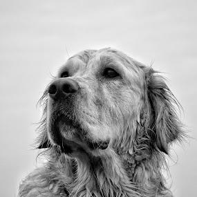 The Thinker by Brian Wilson - Animals - Dogs Portraits ( retriever, sky, wet, beach, beauty, seaside, dog, golden, black&white )