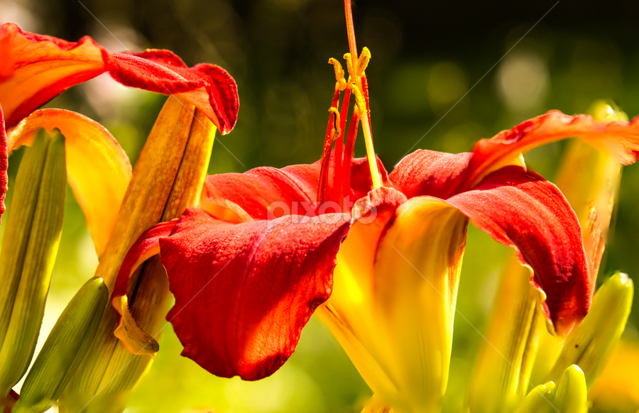 Day Lily by Jason Longbrake - Nature Up Close Flowers - 2011-2013 ( red, side shot, yellow, day lily, flower )