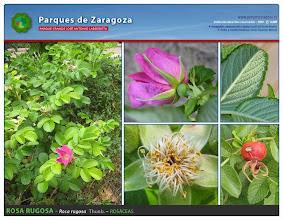 Photo: Rosa rugosa